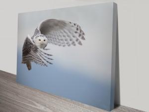 Swooping-owl-s