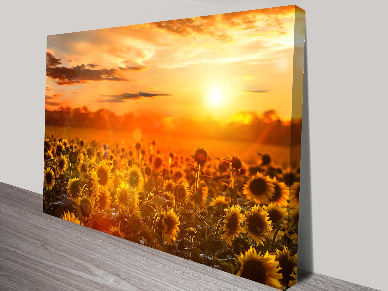 Wall Canvas Art Print of Sunflower Fields at Sunset Australia