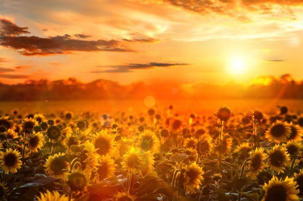 Wall Canvas Art Print of Sunflower Fields at Sunset