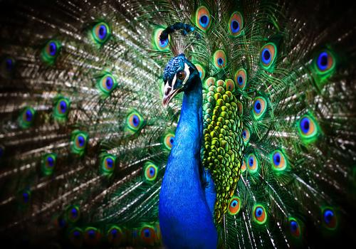 Amazing Peacock canvas prints