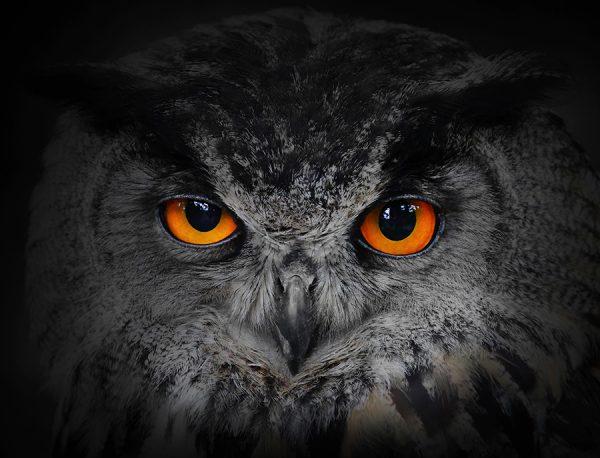 Eyes of the Owl Bird Photo Canvas Wall Art Prints
