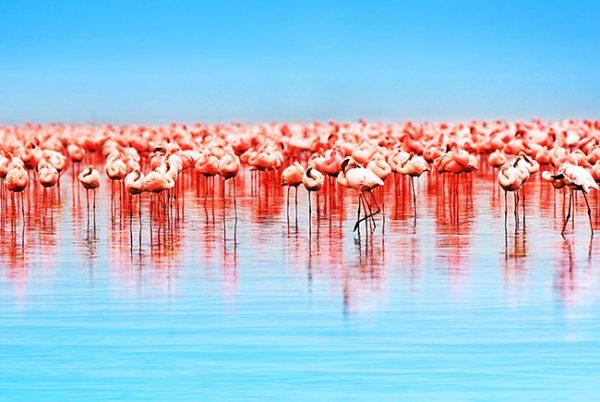 Flamingos canvas prints australia