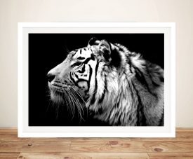 White tiger Framed Wall Art Print Sydney