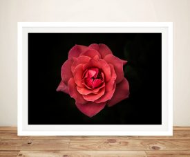 Isolated Red Rose Framed Wall Art