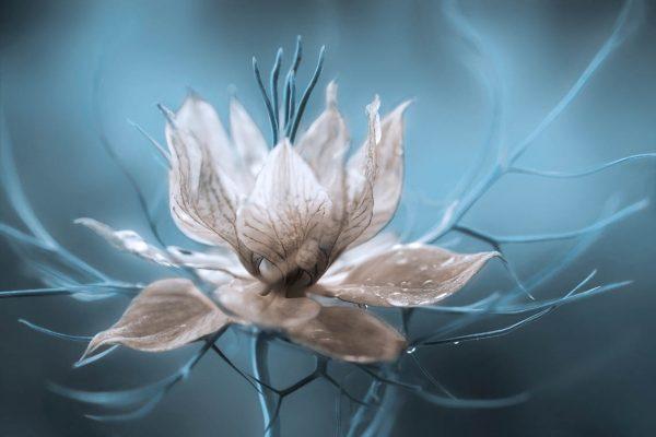 Nigella Flower Art Print Picture Sydney