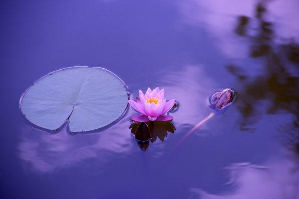 Stunning Lotus Flower Canvas Print