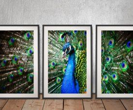 Amazing Peacock 3-Panel Print on Canvas