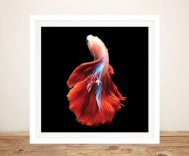 Buy a Framed Print of a Siamese Fighting Fish